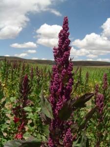 Quinoa, the Miracle Grain. Photo courtesy of PROINPA.